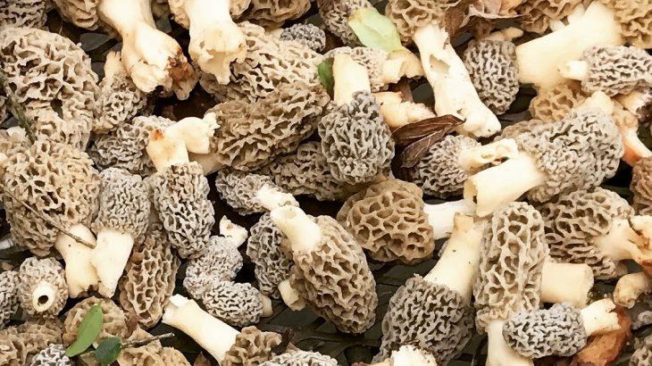Morel Mushroom Michigan Map.5 Tips For Finding More Morels