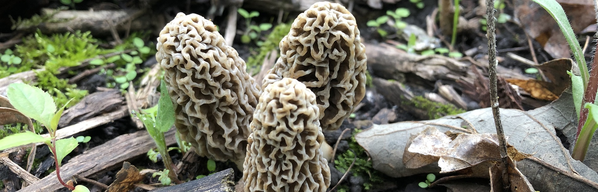 health benefits of the morel